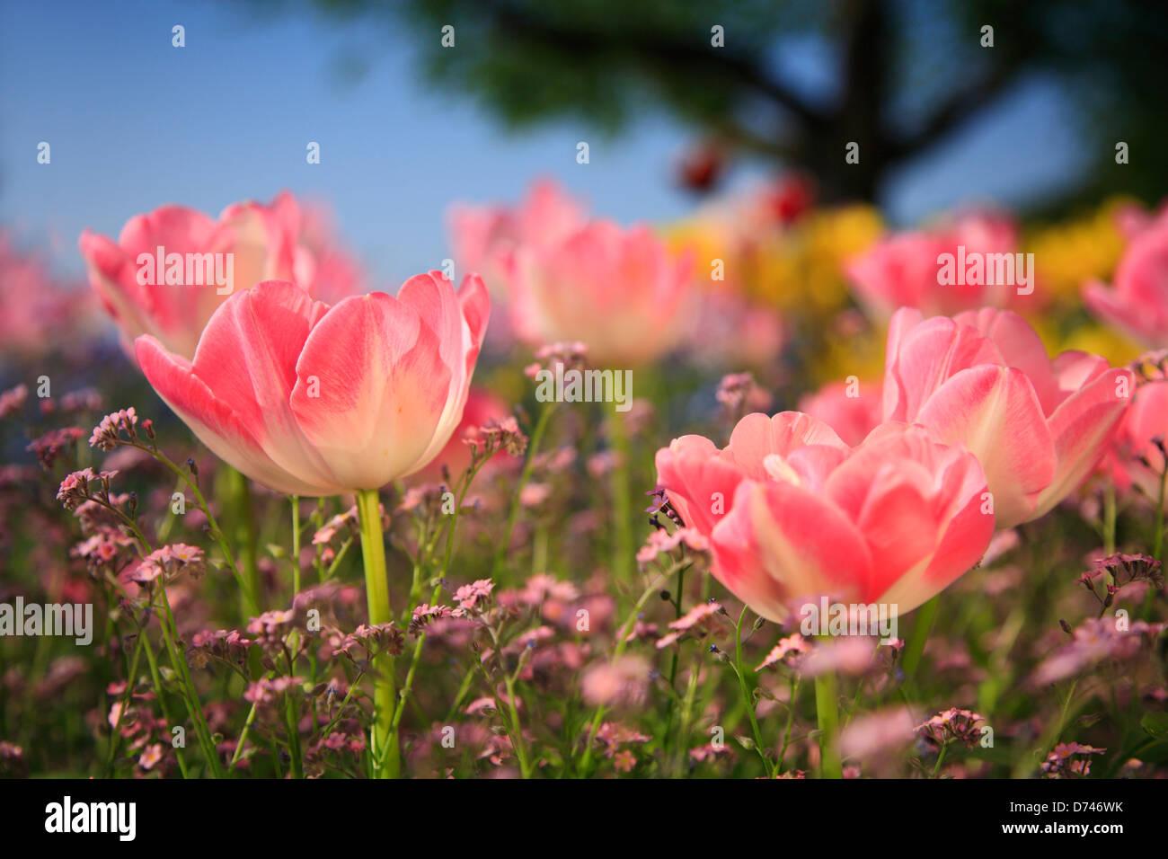Tulips garden - Stock Image