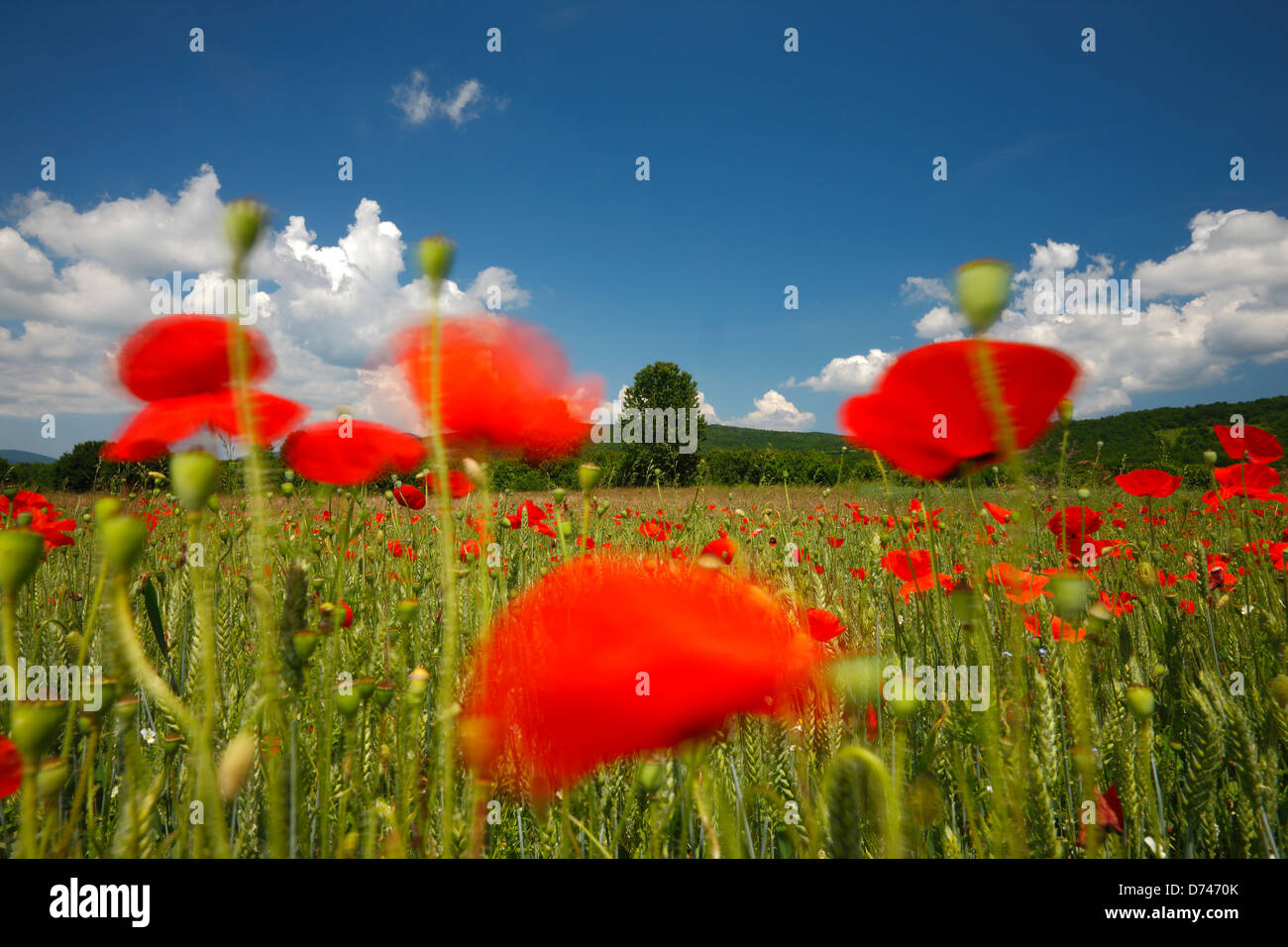 Poppy fields and clouds in spring - Stock Image