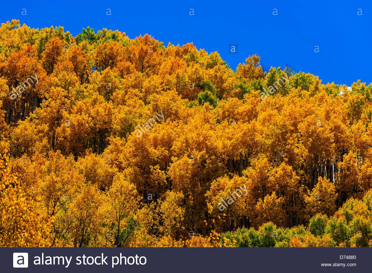 Fall foliage, Rocky Mountains, Redstone, Colorado USA. - Stock Image