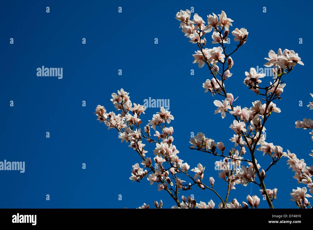 Saucer magnolia tree at Kew Gardens in London, UK - Stock Image