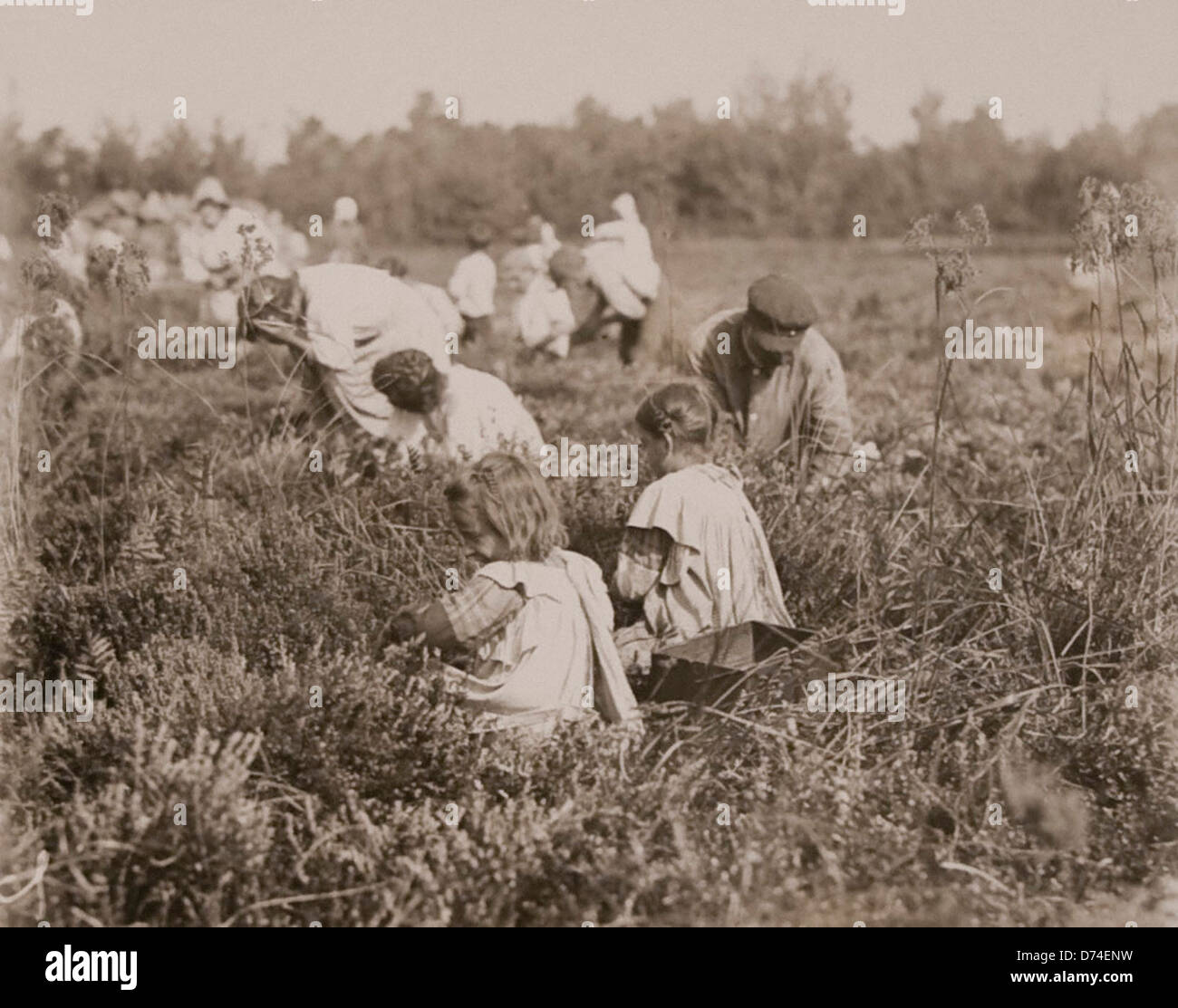 Children Picking Cranberries, Pemberton,New Jersey - September - Stock Image