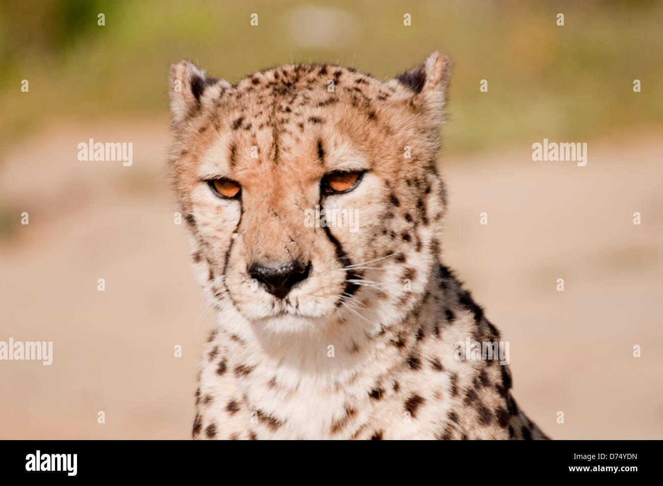 Cheetah sitting in the sun. - Stock Image
