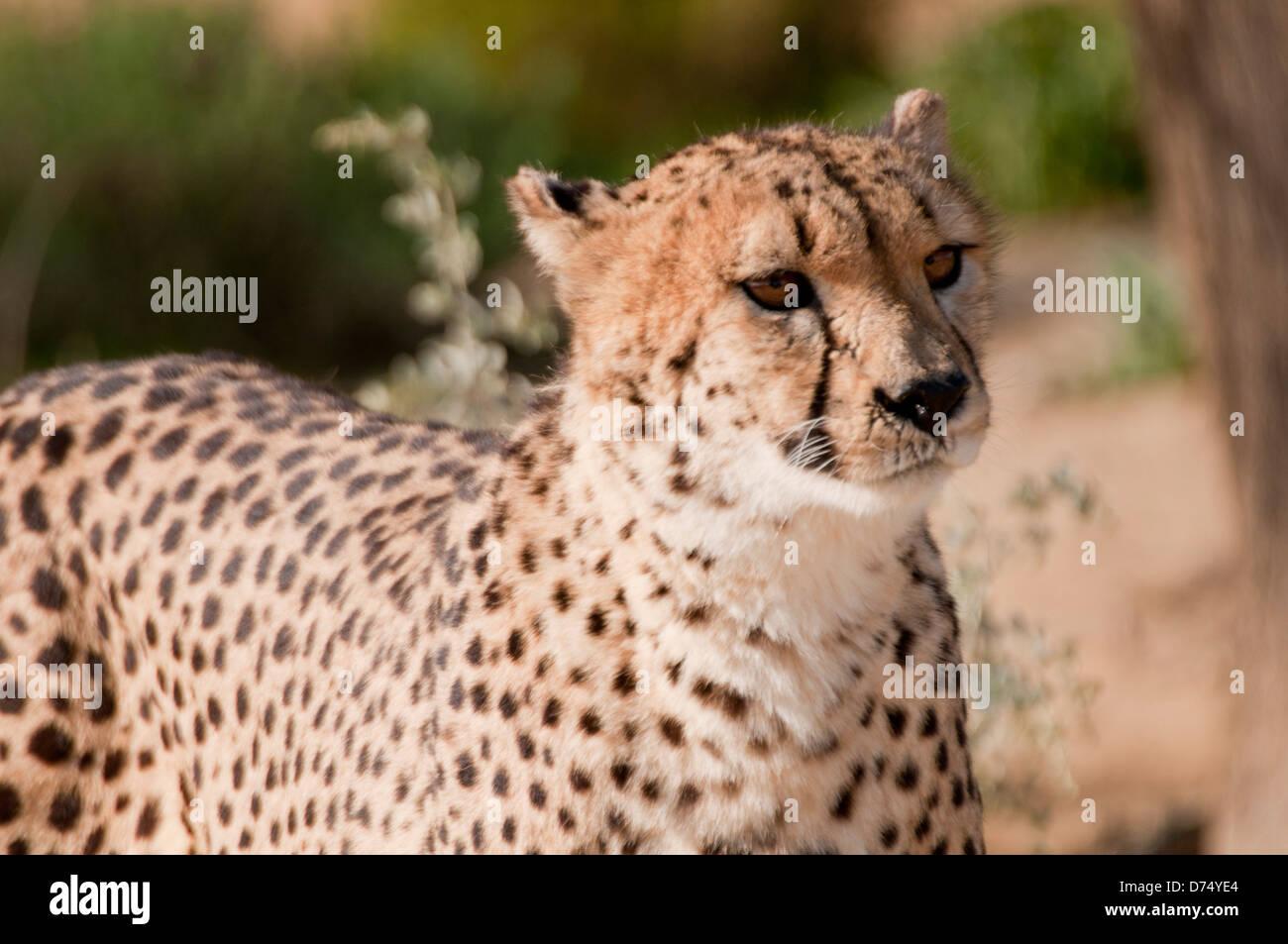Cheetah walking in the sun. - Stock Image