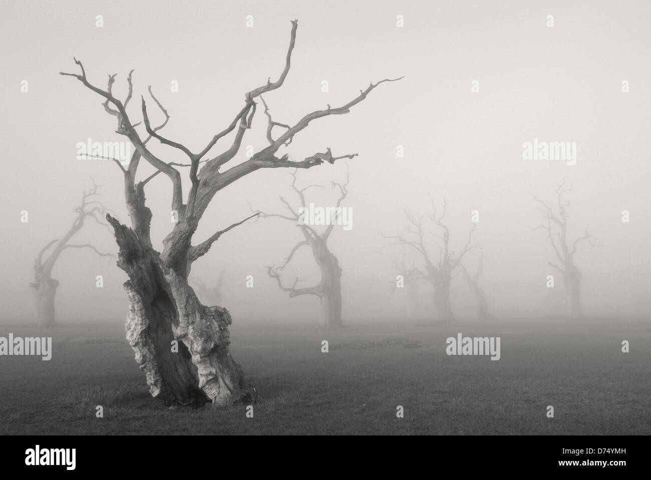 Petrified Oak Trees - Stock Image