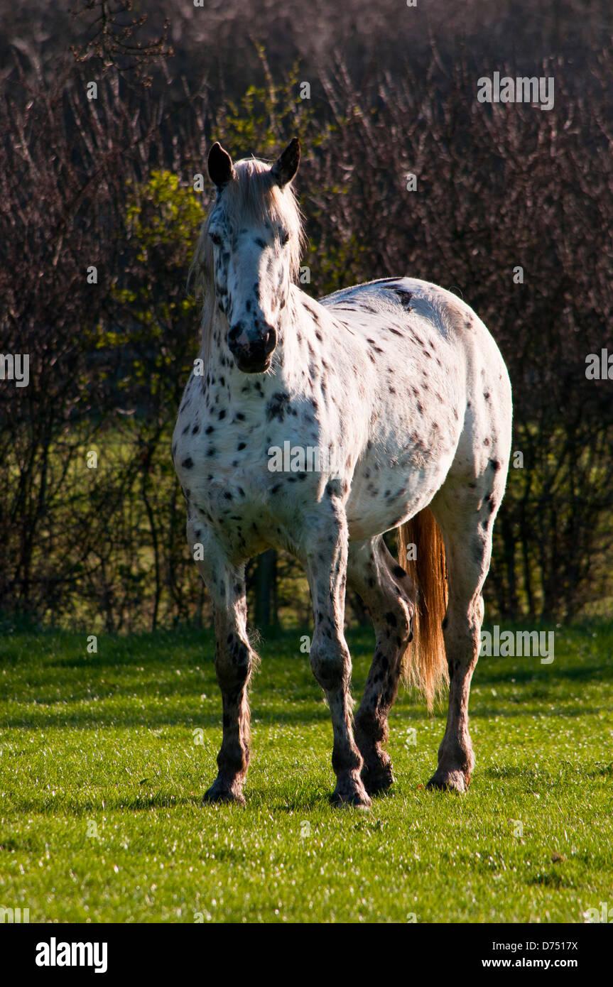 Appaloosa Horse Leopard Spotted Coat Stock Photo Alamy