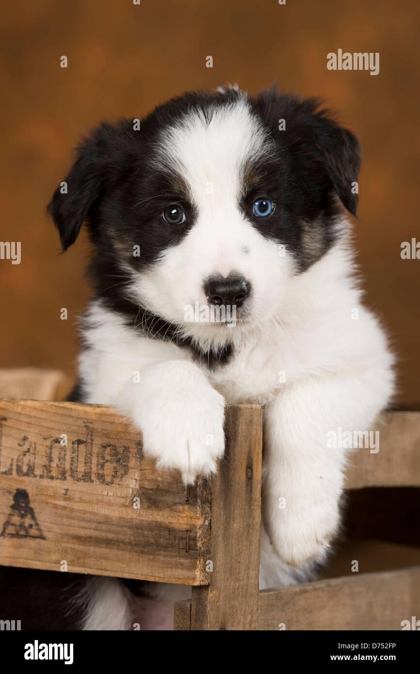 Border Collie Puppy - Stock Image