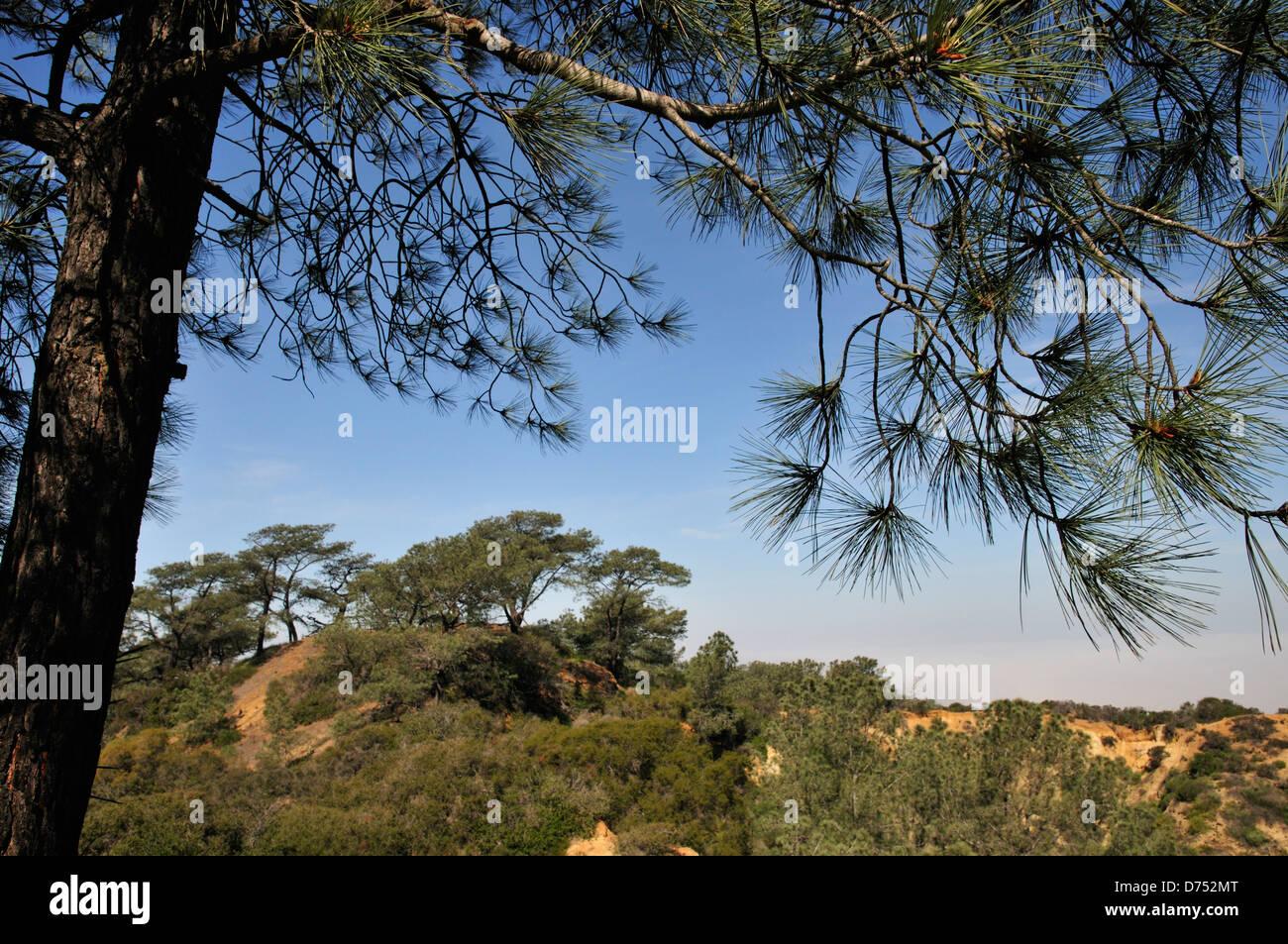 Torrey pines in Torrey Pines State Natural Reserve - Stock Image