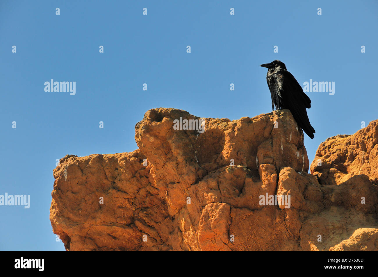 Raven on Red Butte in Torrey Pines State Natural Reserve - Stock Image