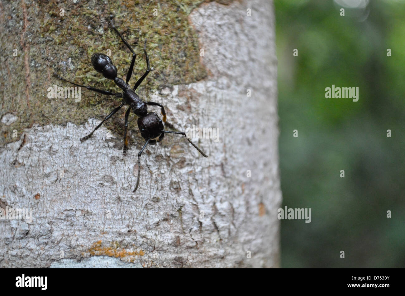 Hormiga Bala - bullet ant - Paraponera clavata Stock Photo