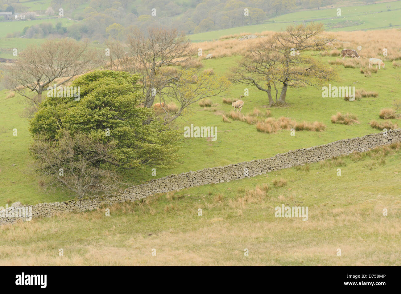 Damp day in the Lake District: stone walls, trees, sheep - Stock Image