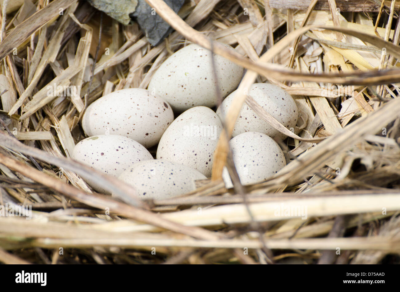 Coot ((Fulica atra) eggs in a nest. - Stock Image