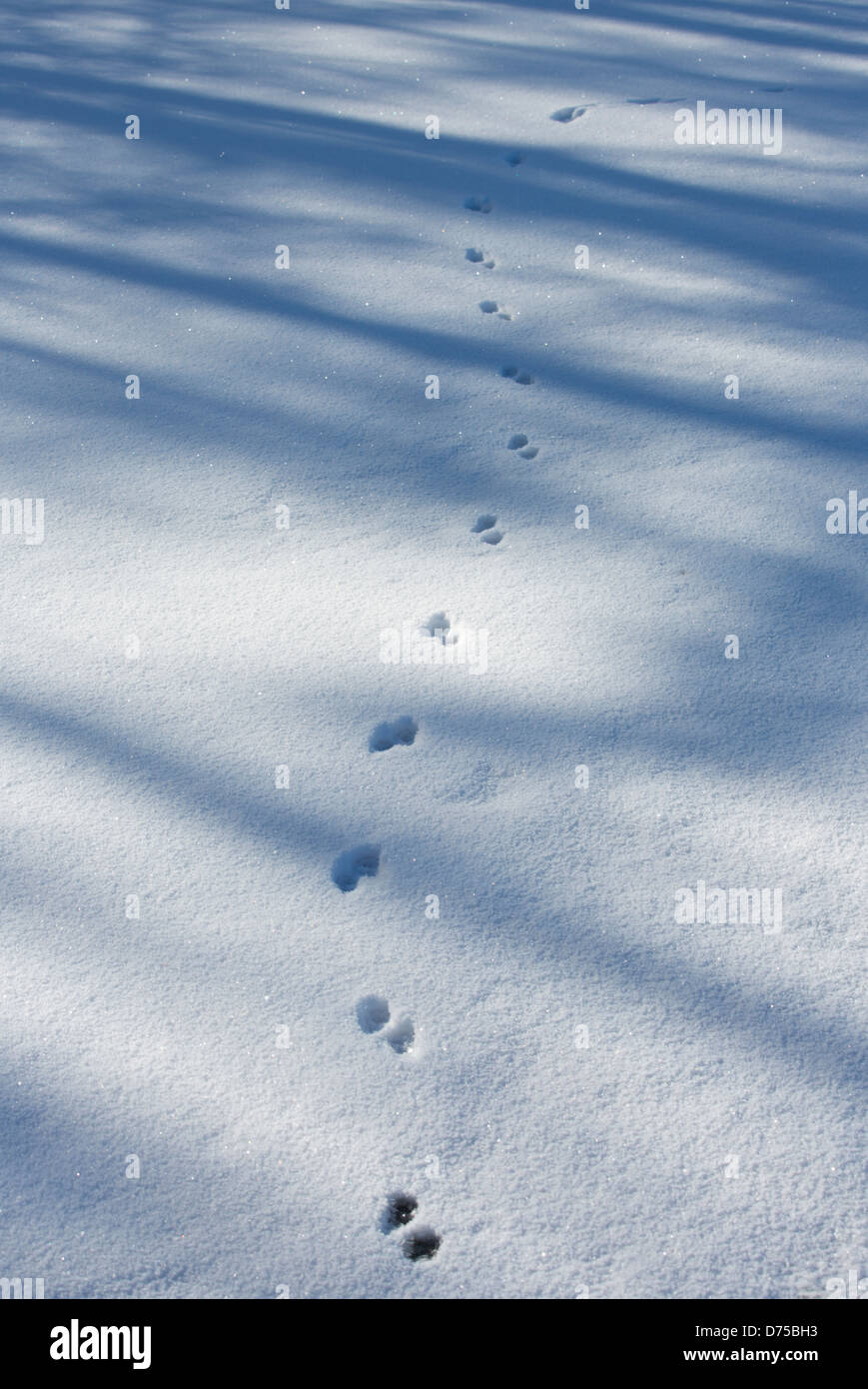 Animal tracks on snow (  ermine ?? ) - Stock Image