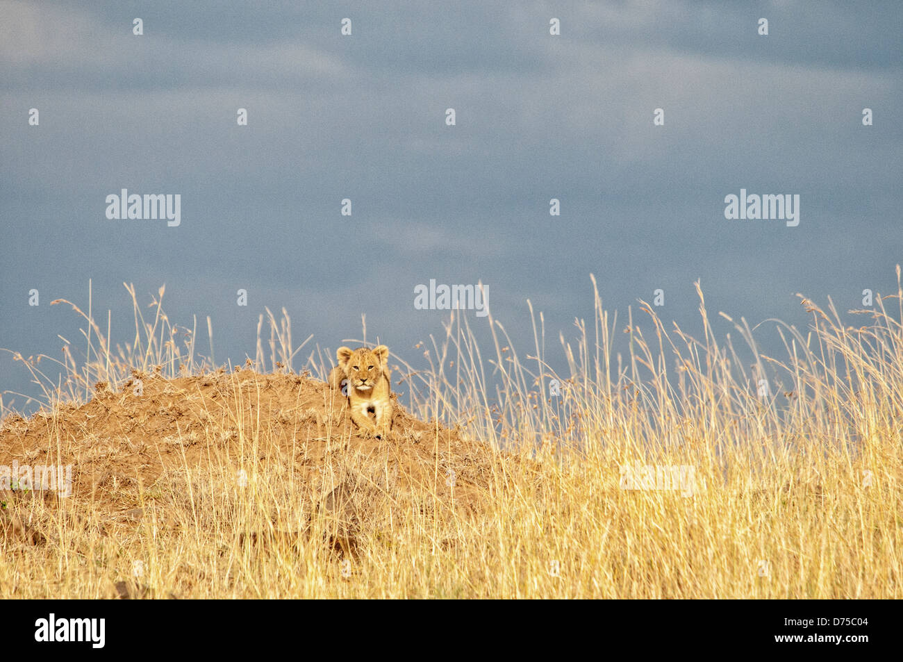 Small Lion Cub, Panthera leo, in tall grass, Masai Mara National Reserve, Kenya, Africa Stock Photo