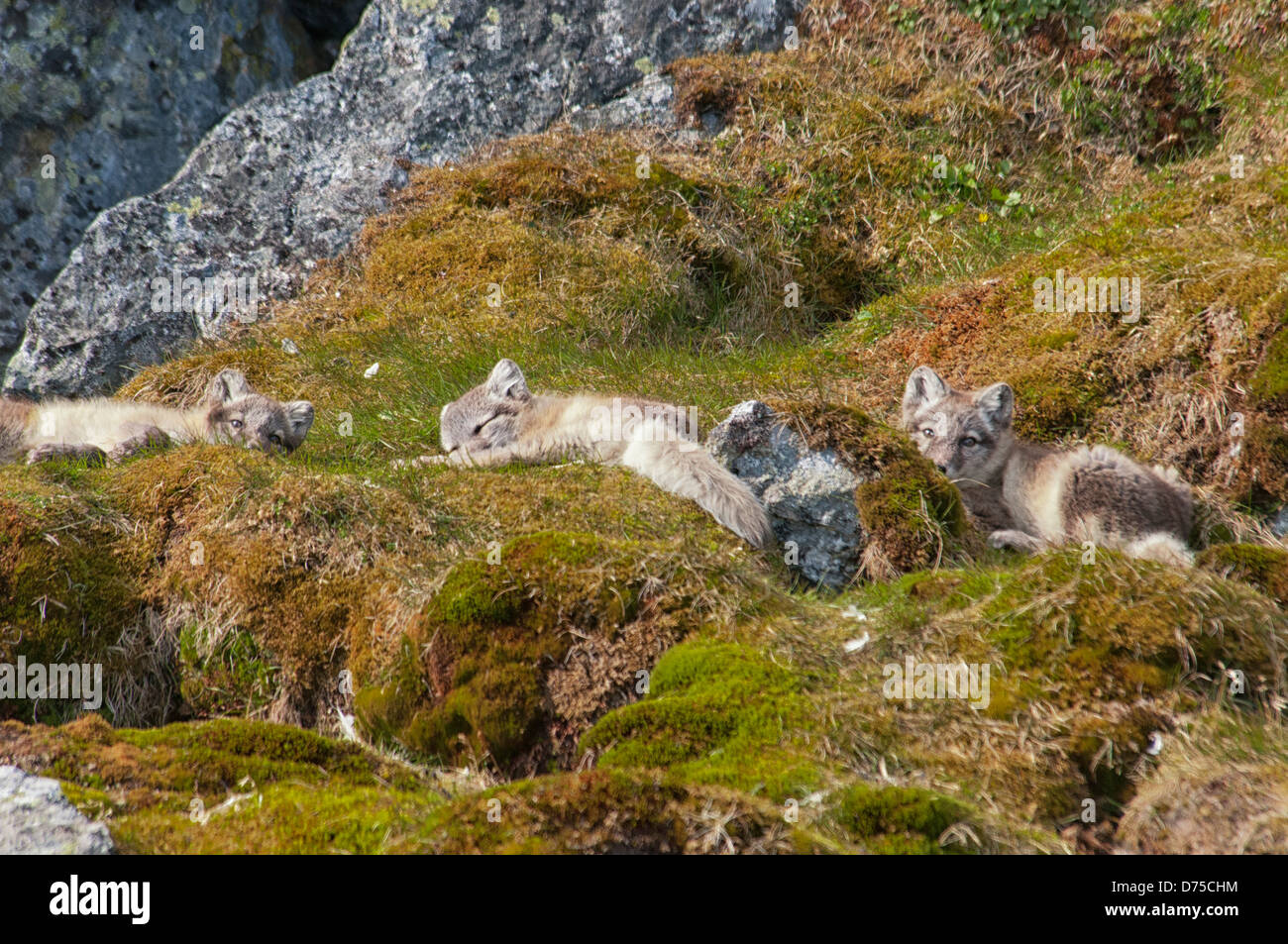 Three Arctic Fox Pups, Vulpes lagopus. in summer pelage, lying down in the tundra Alkehornet, Spitsbergen, Svalbard, - Stock Image