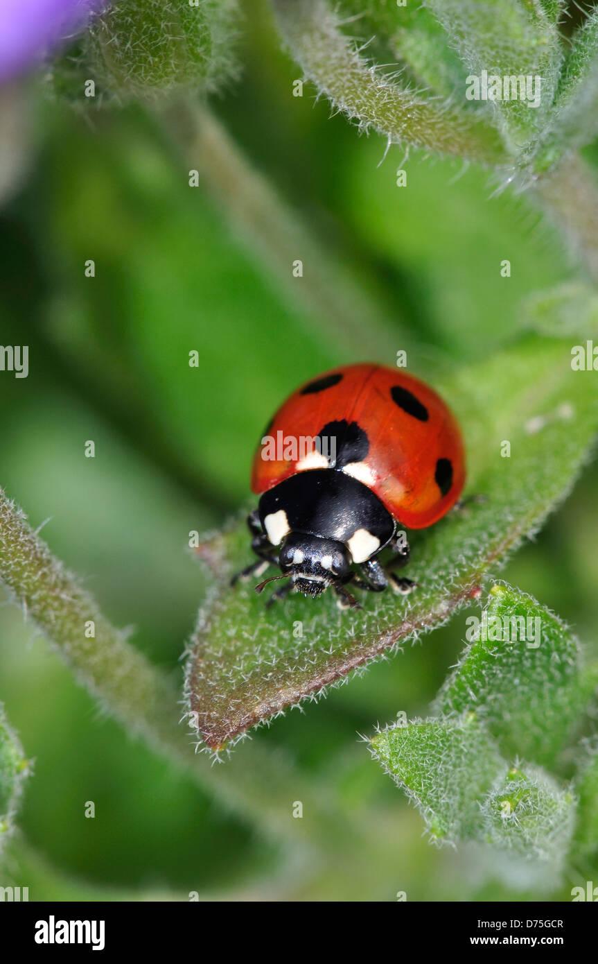 A seven-spot 7-spot ladybird Stock Photo