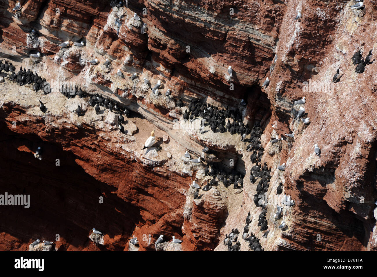 common guillemots brooding in a scarp slope - Stock Image