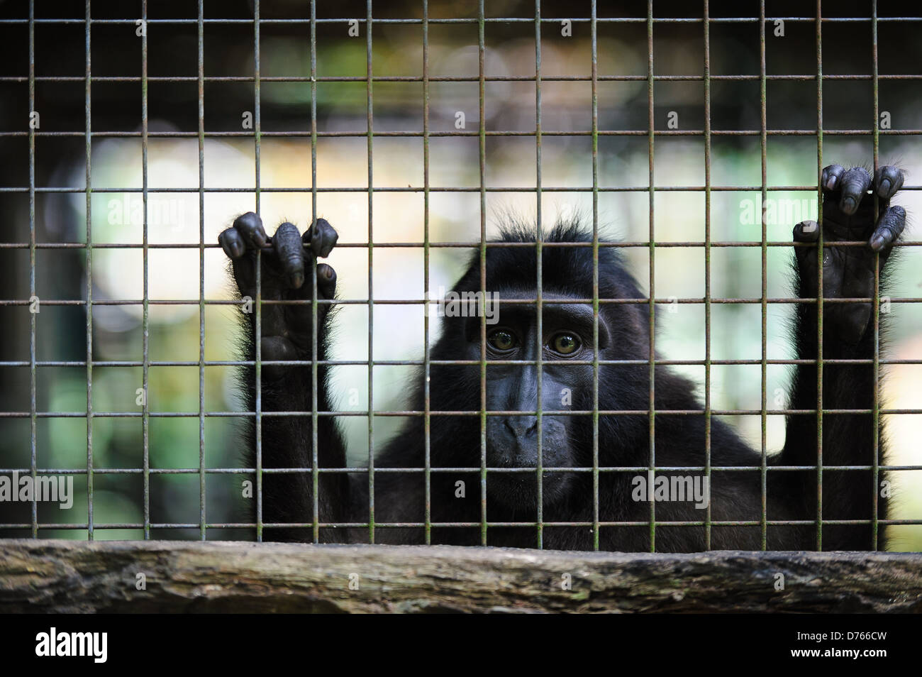 Celebes crested macaque at a rehabilitation centre, Sulawesi, Indonesia. - Stock Image