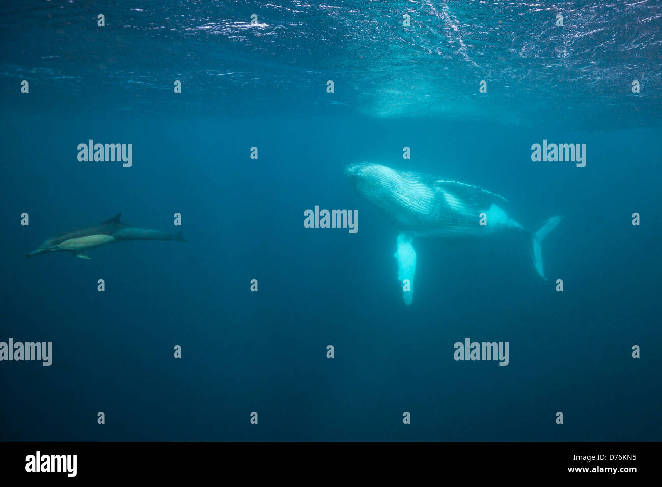 Humpback Whale, Megaptera novaeangliae, Indian Ocean, Wild Coast, South Africa - Stock Image