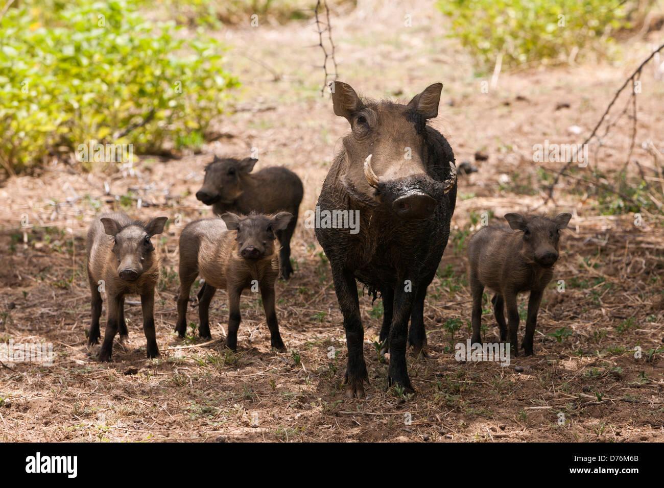 Common Warthog, Phacochoerus africanus, Namibia - Stock Image