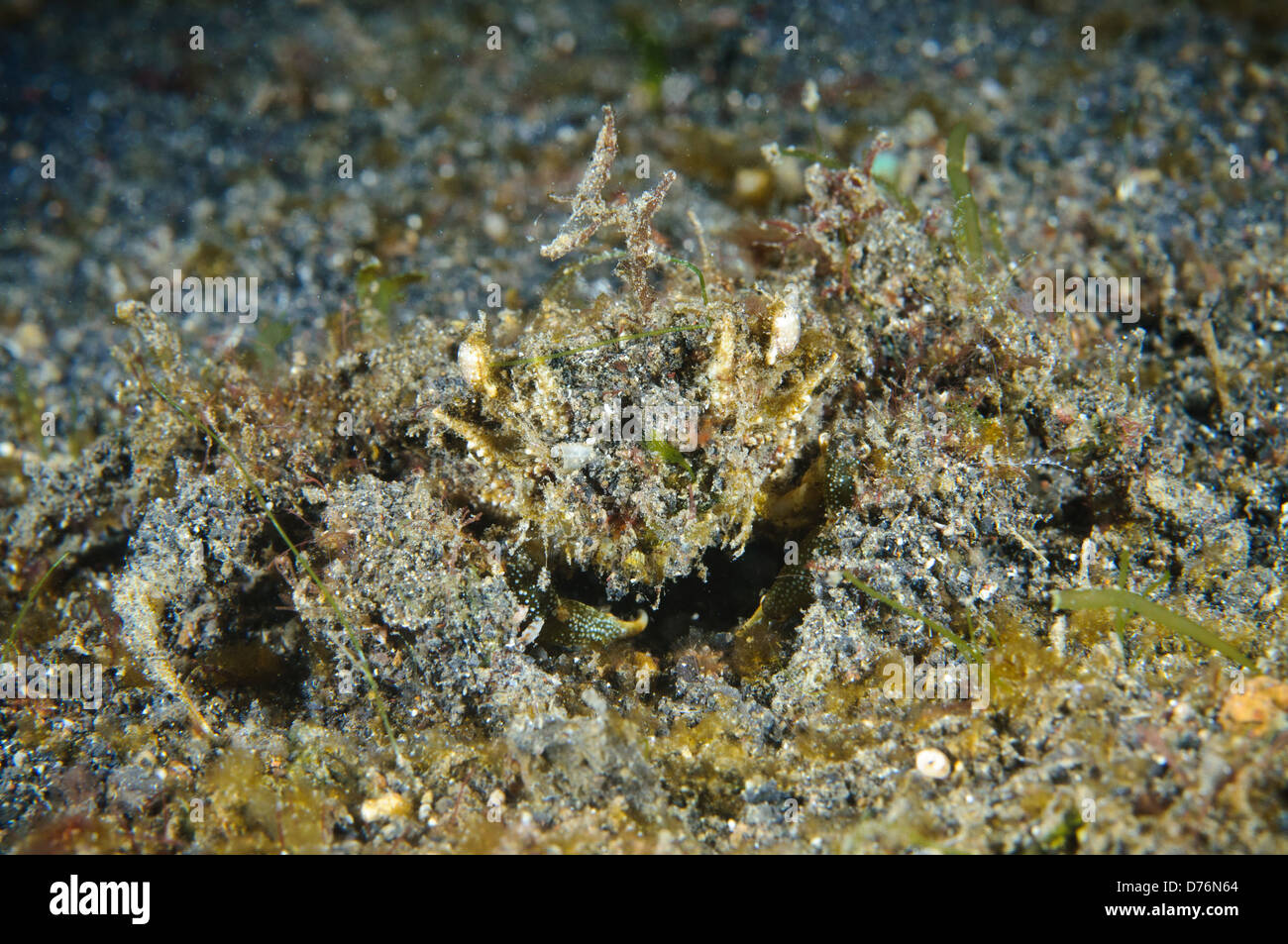 Unknown species of camouflaged decorator crab, Lembeh Strait, Sulawesi, Indonesia. - Stock Image