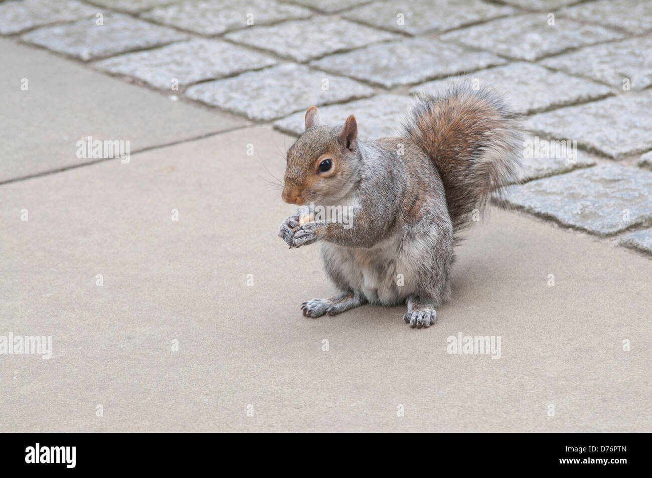 Tame Grey squirrel eating a biscuit in city park - Stock Image