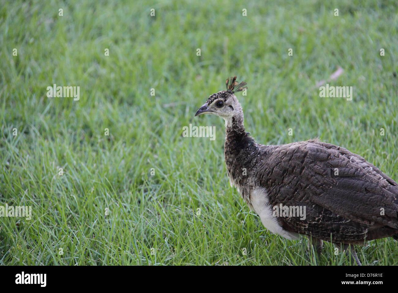 Peacock Chick (Pavo Cristatus) - Stock Image