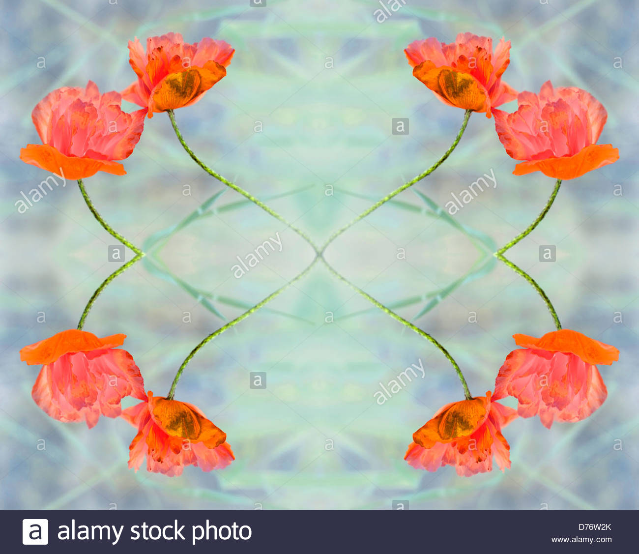 Red poppy flowers - Stock Image