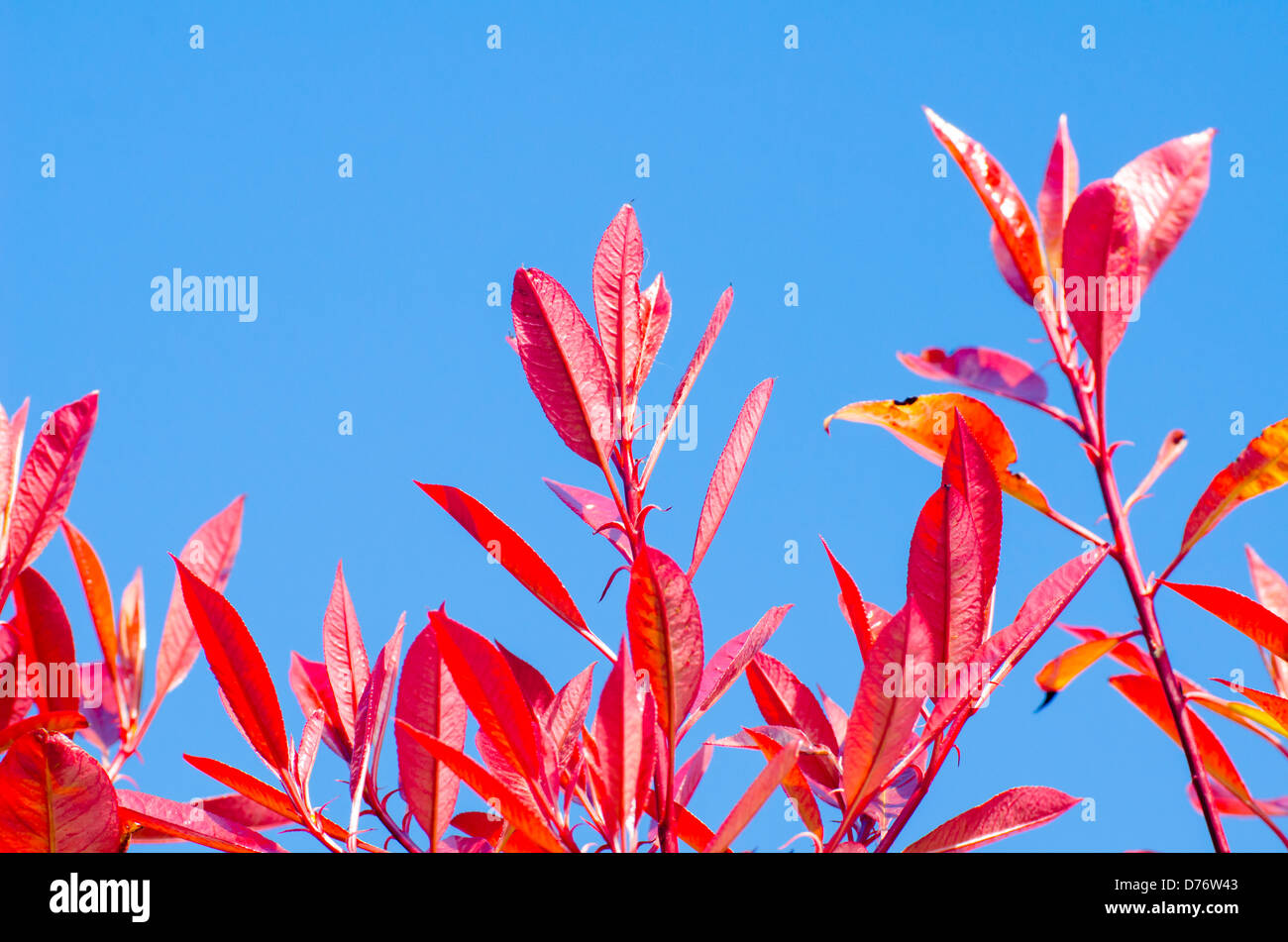 Leaves from a Red Robin shrub (Photinia x fraseri) against blue sky in Spring. - Stock Image