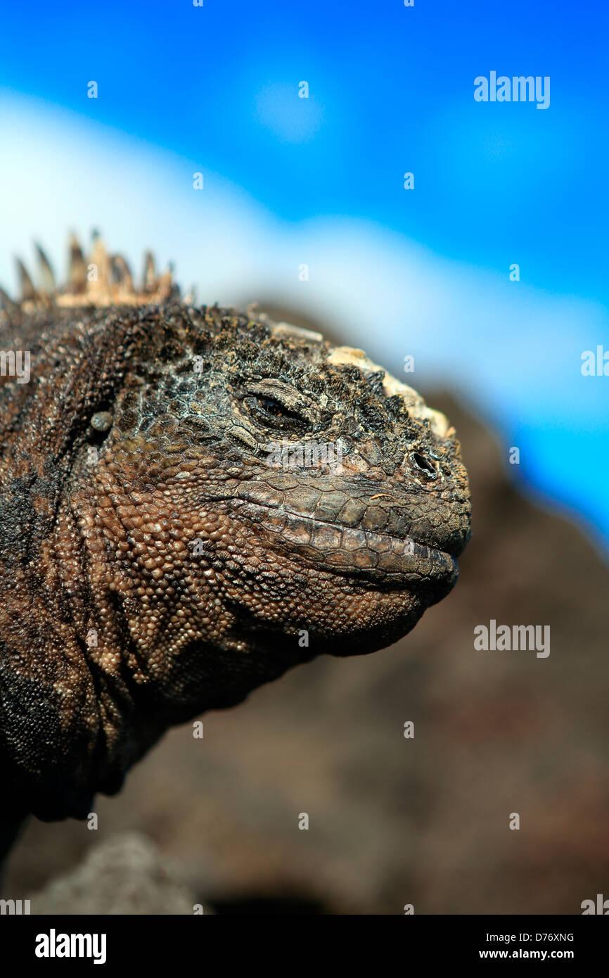 Marine iguana Galapagos Islands - Stock Image