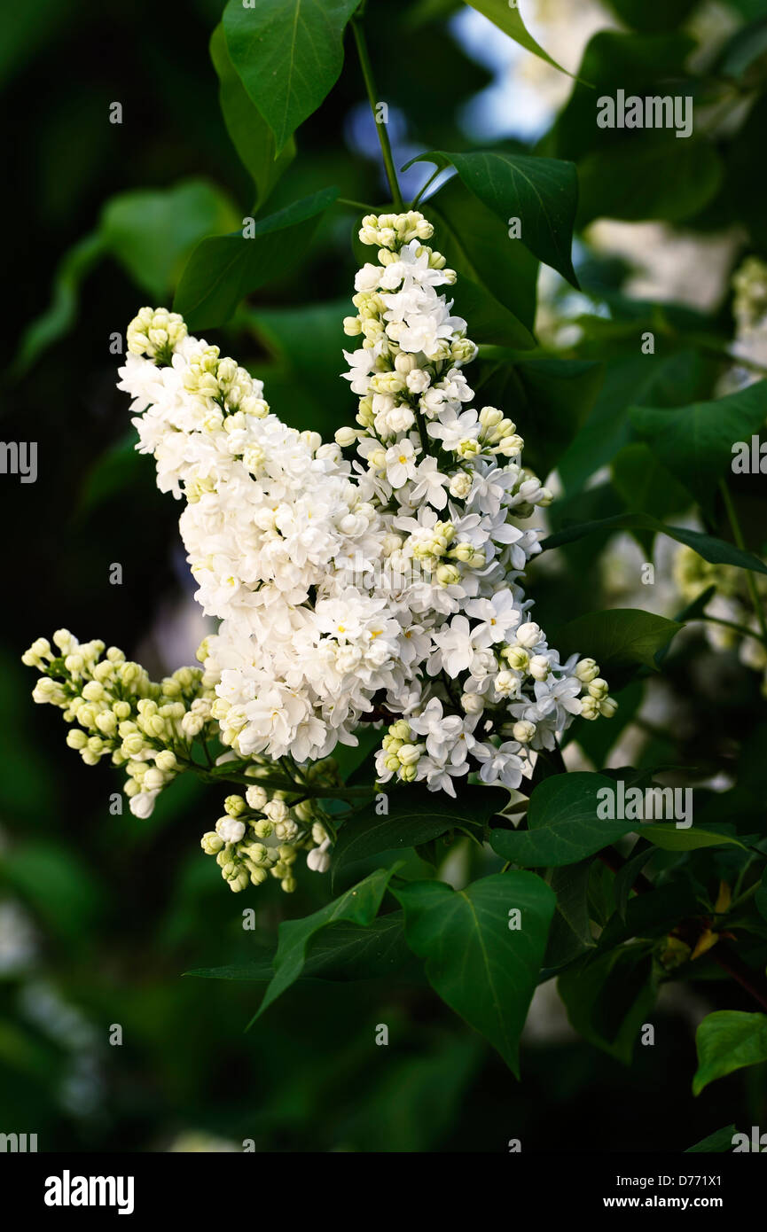 Weisser Flieder teilweise erblüht auf Blütenblatt - Stock Image