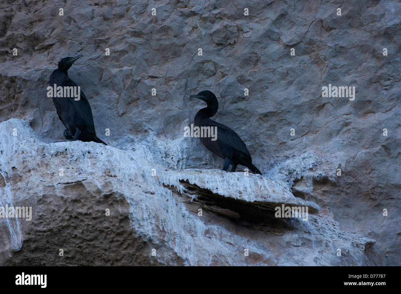 Endemic socotrian cormorants in Yemen - Stock Image