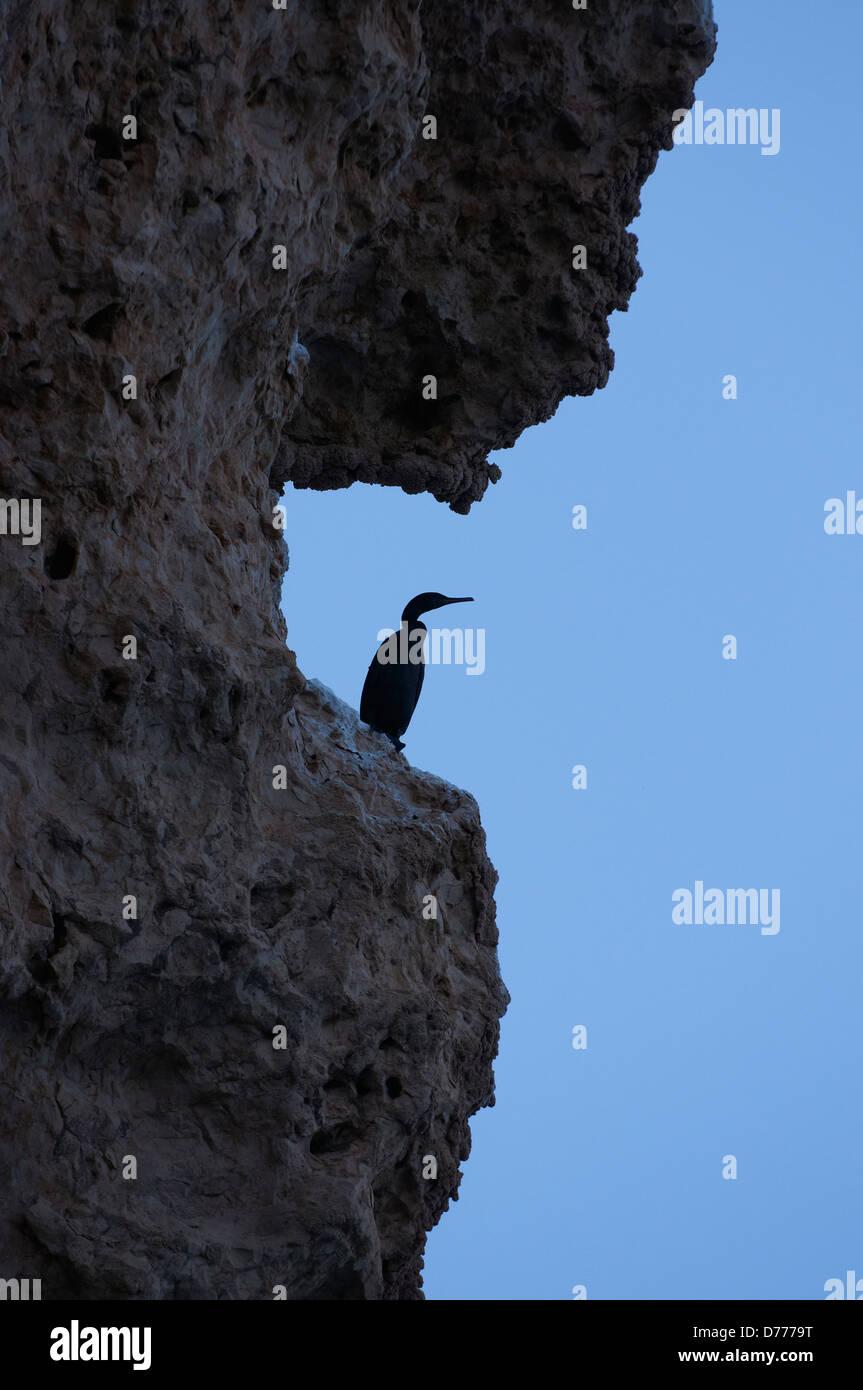 Endemic socotrian cormorant in Yemen - Stock Image