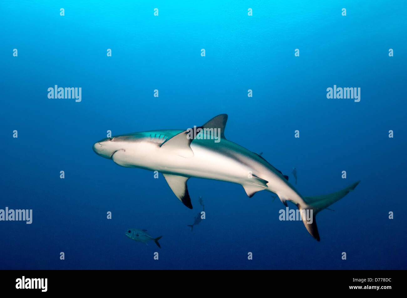 A Blacktip Shark prowls for prey in open water. - Stock Image