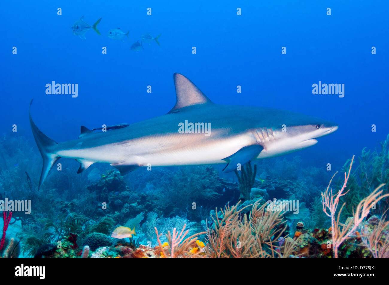 a Reef Shark, Carcharhinus perezi , prowls over a coral reef near the island of Roatan, Honduras. - Stock Image