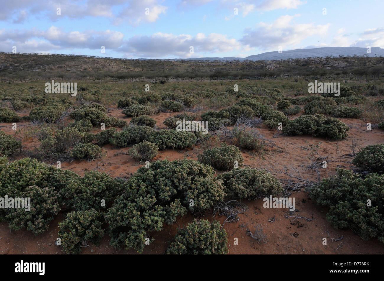 Shrub land of east Socotra in Yemen - Stock Image