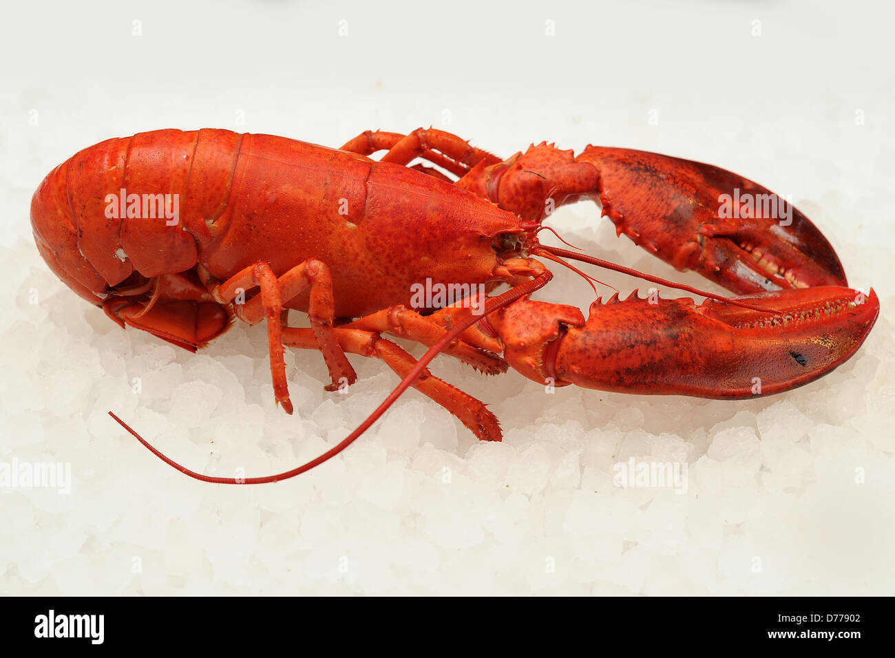a red lobster - Stock Image