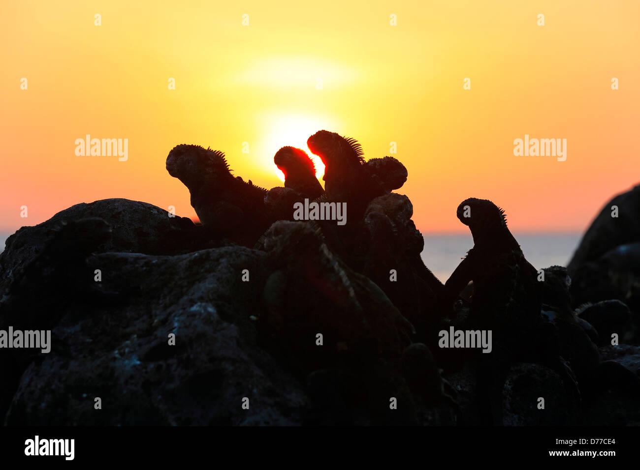 Marine iguanas on volcanic rocks at sunset on Floreana Island - Stock Image