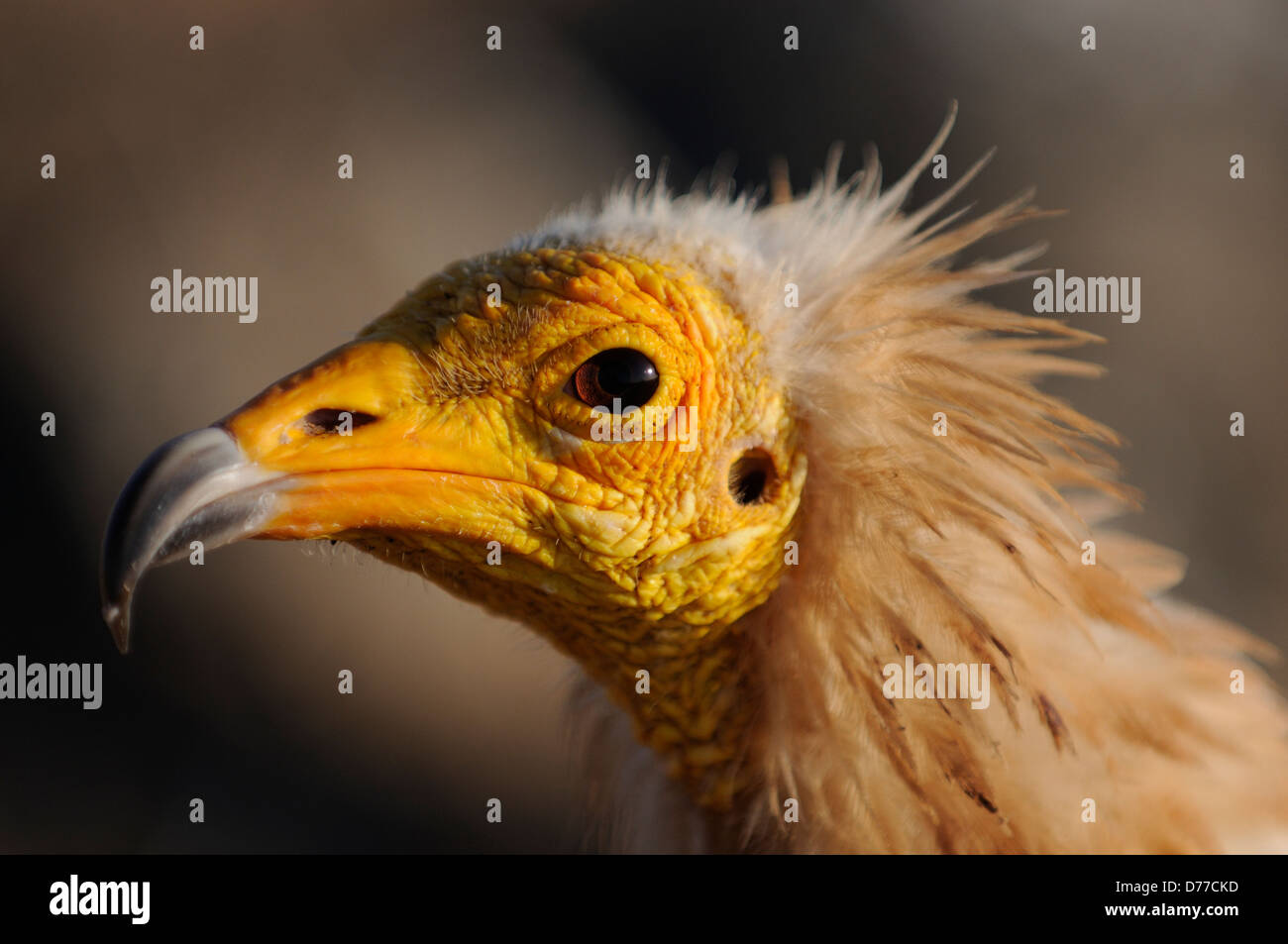 Portrait from an Egyptian vulture in Yemen, Socotra - Stock Image