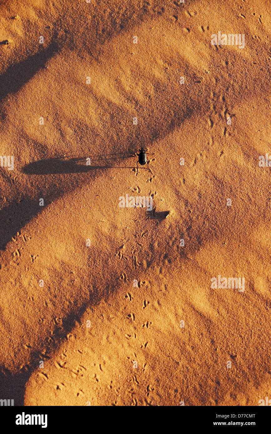 Pinacate beetle Genus Eleodes crossing sand dune Cabeza Prieta National Wildlife Refuge Arizona - Stock Image