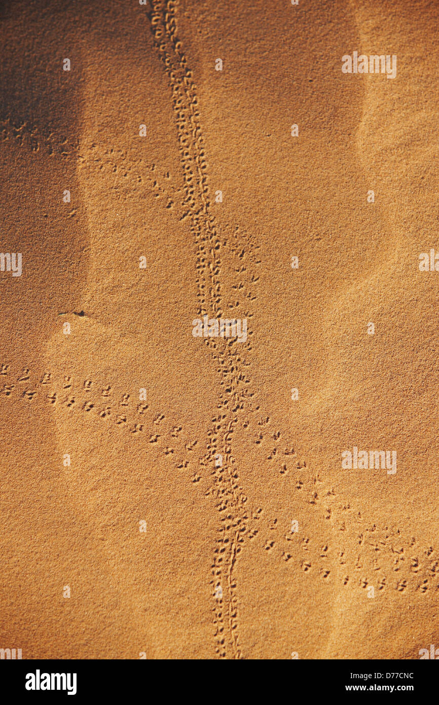 Pinacate beetle Genus Eleodes tracks on sand dune Cabeza Prieta National Wildlife Refuge southern Arizona - Stock Image