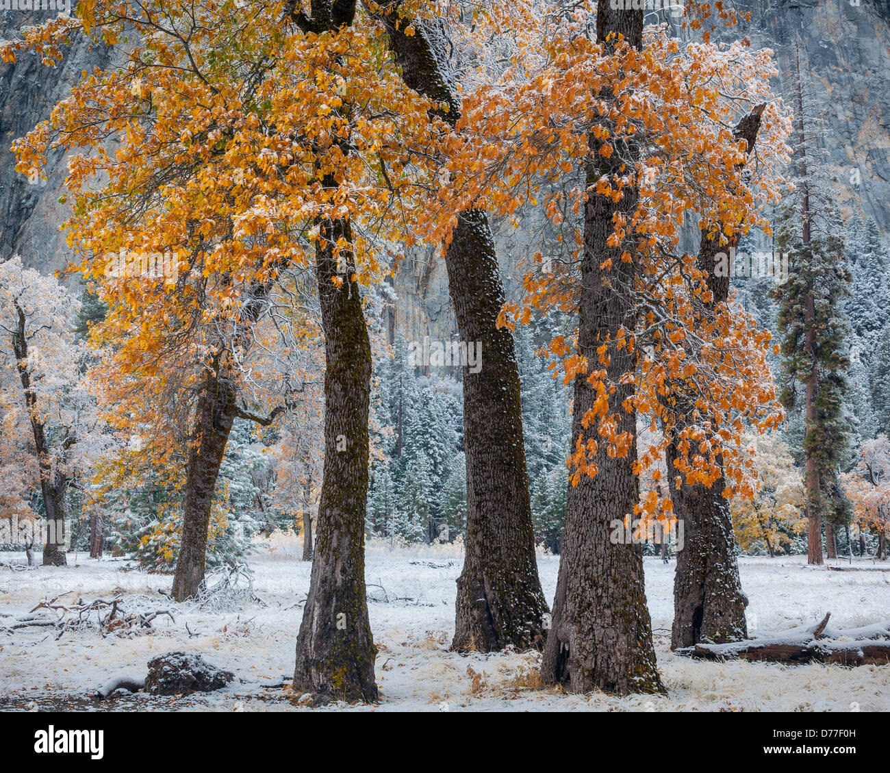 Yosemite National Park, CA: Three black oaks with lingering fall color and a dusting of snow, Yosemite Valley - Stock Image