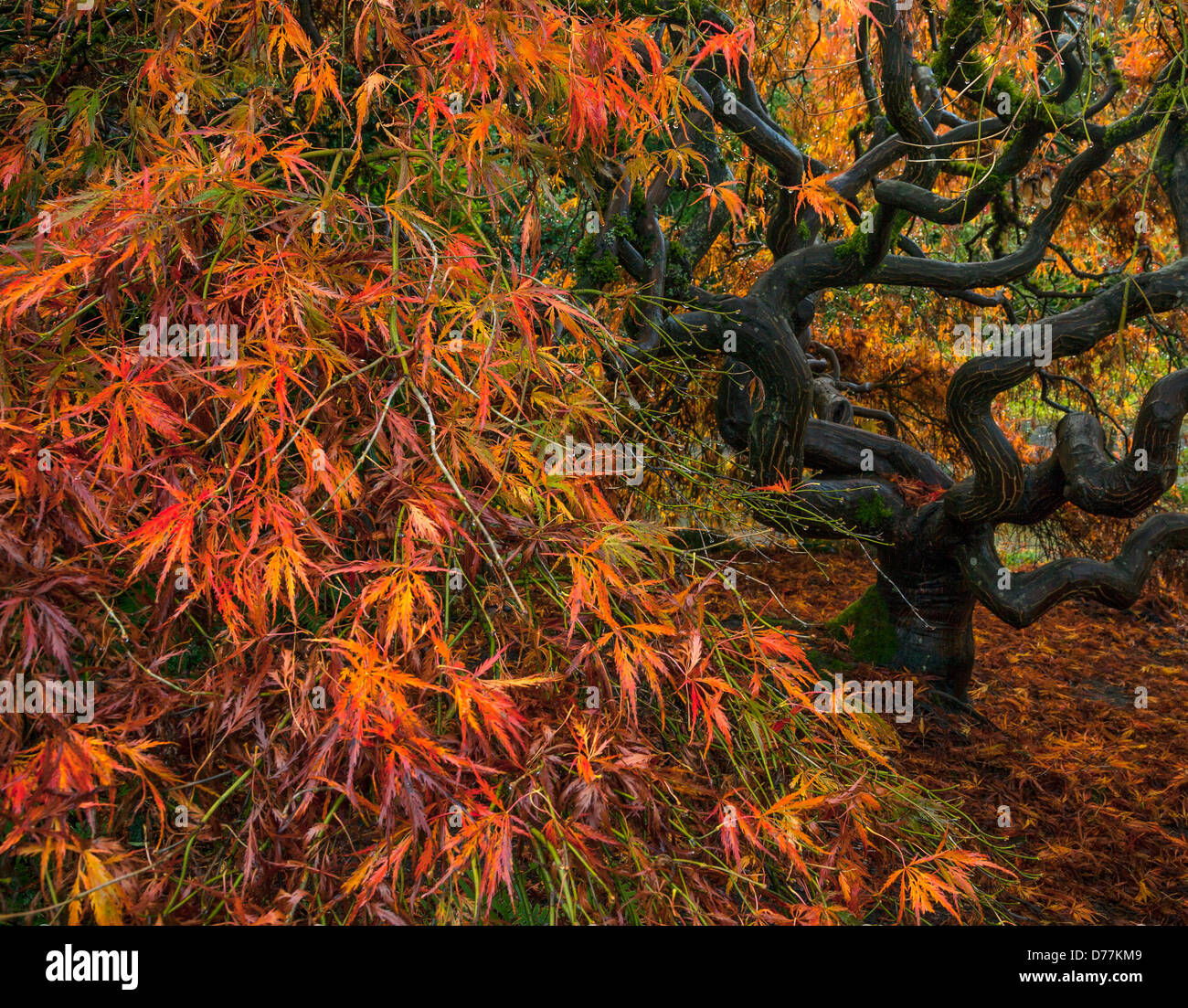 Kubota Garden, Seattle, WA: Twisted trunk and branches of a Stock ...