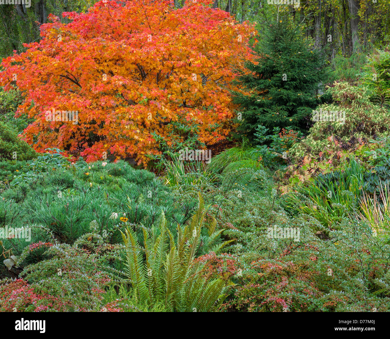 Kubota Garden, Seattle, WA: Japanese maple with fall foliage with low growing barberry, a snall pine and sword ferns - Stock Image