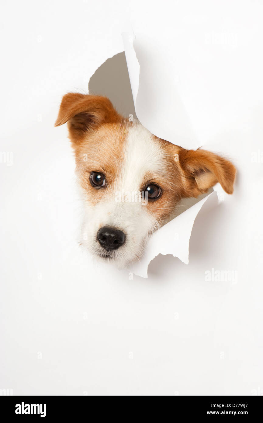 Dog breaks through paper - Stock Image