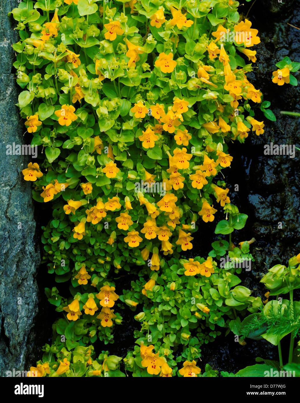 Seep Monkey Flower Stock Photos Seep Monkey Flower Stock Images