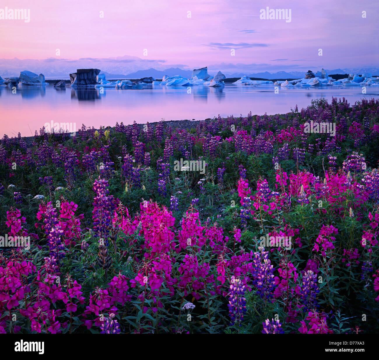 Pastel light after sunset illuminating dwarf fireweed Epilobium latifolium nootka lupine Lupinus nootkatensis dozens Stock Photo