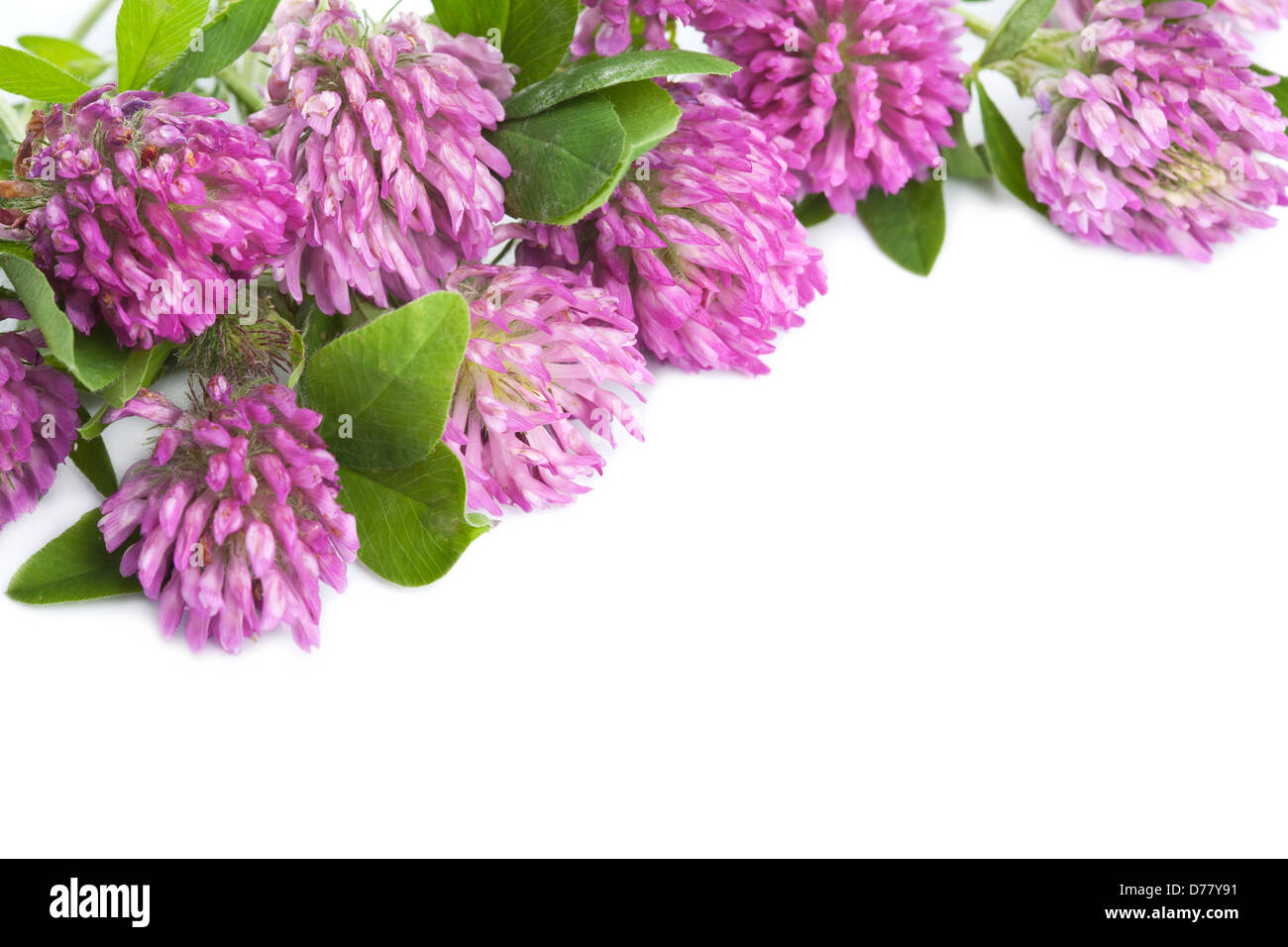 Pink Clover Flower Isolated Stock Photos Pink Clover Flower