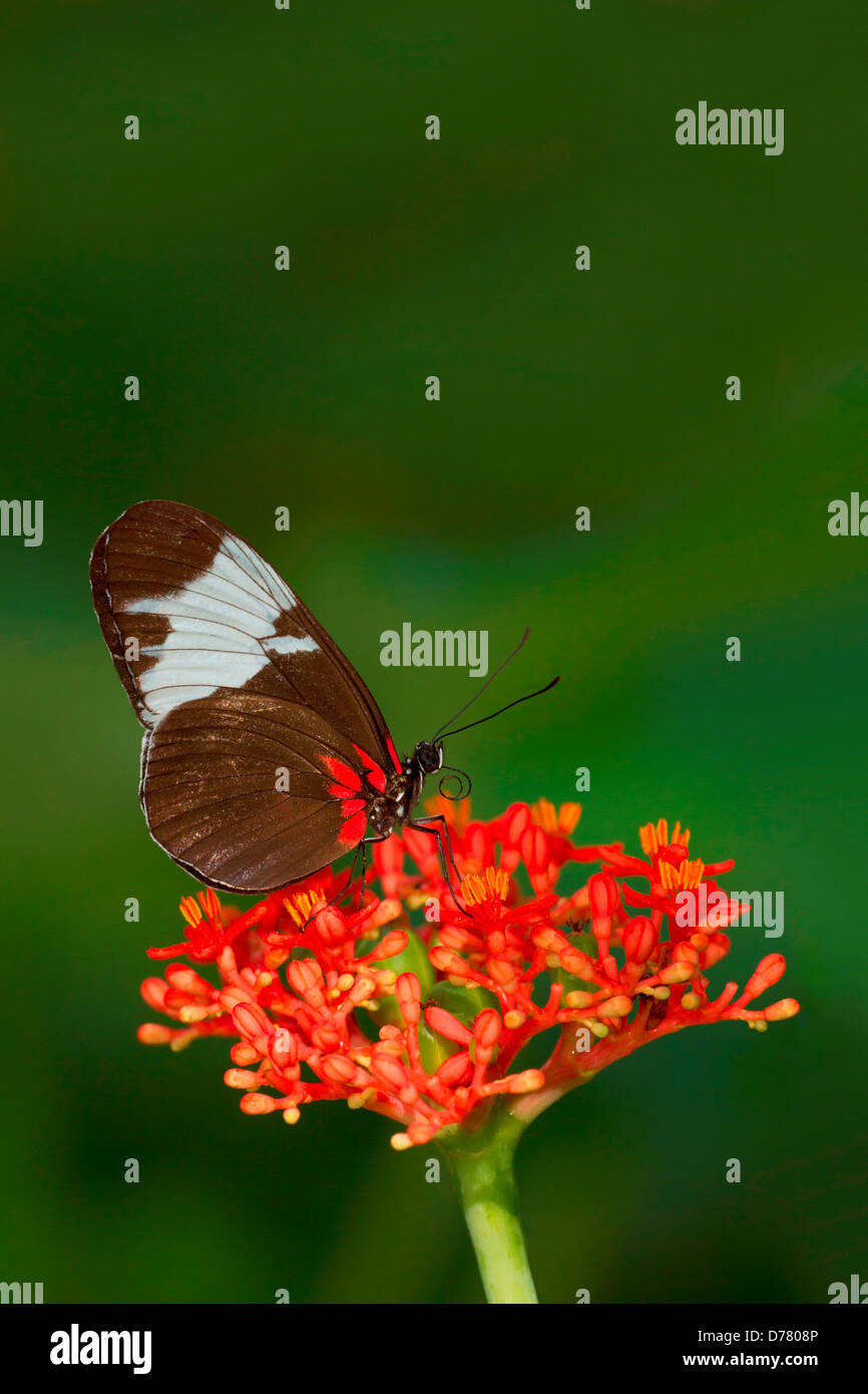 Sapho Longwing Heliconius Sapho perched on gout plant - Stock Image