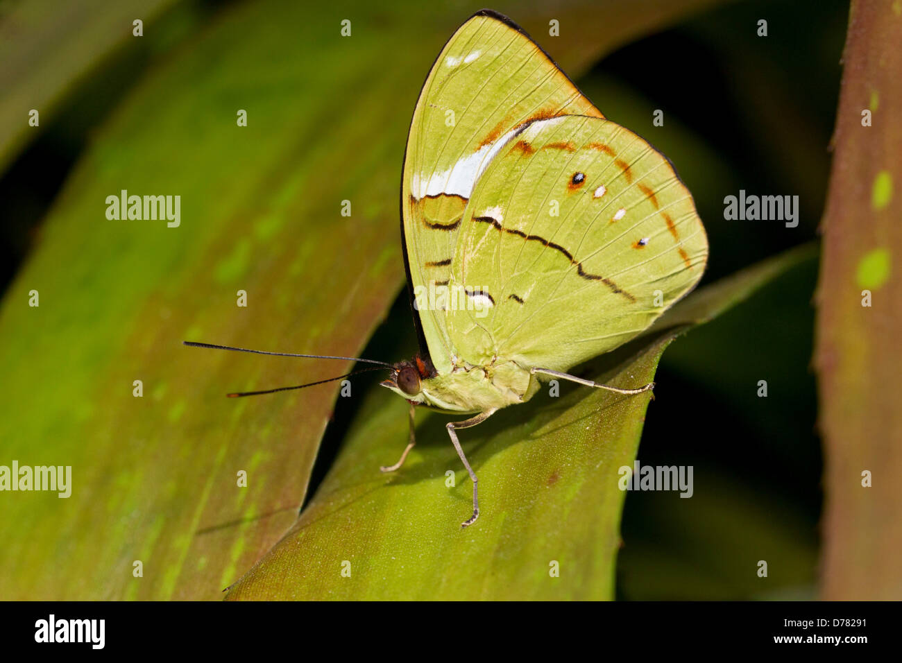 Bộ sưu tập cánh vẩy 4 - Page 10 Male-common-olivewing-butterfly-nessaea-aglaura-perched-on-green-leaf-D78291