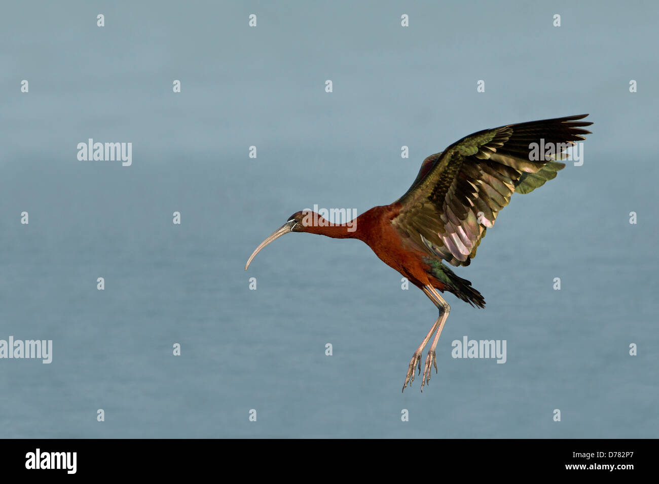 Glossy ibis Plegadis falcinellus swept back wings about to land water background - Stock Image